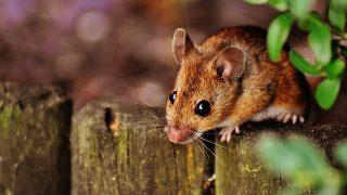 おすすめネズミ駆除業者ランキングと良い業者の選び方