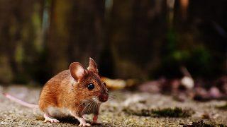 ネズミがいると「ダニ」の被害にも注意!その理由とダニによる被害の内容