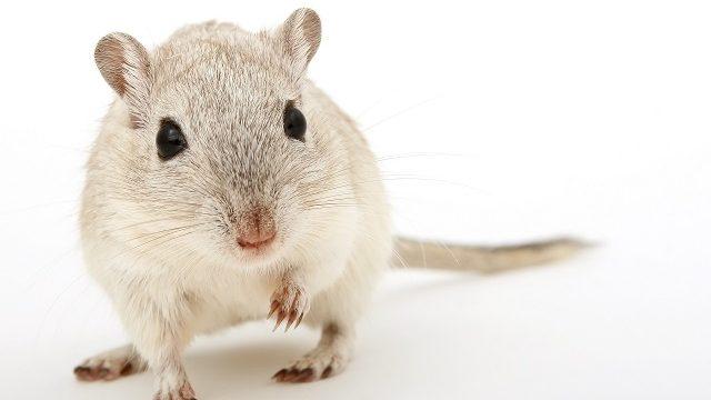 ネズミの寿命はどれくらい?寿命を待つより駆除すべき理由とは