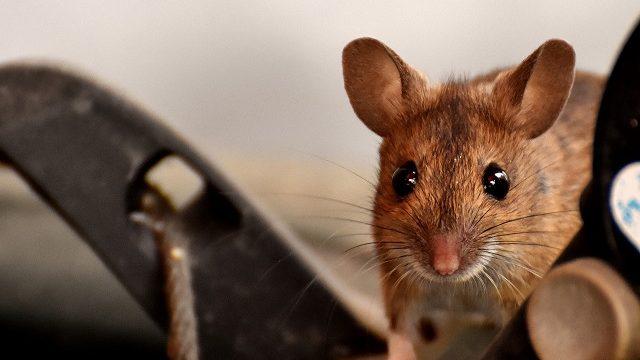 殺鼠剤でネズミ駆除しよう!殺鼠剤の選び方や使い方を徹底解説