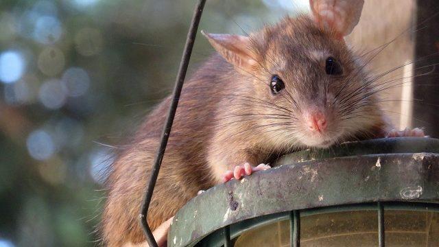 ネズミを追い出す方法を知りたい!家からネズミを追い出す方法を徹底解説
