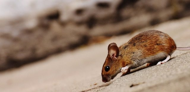 床下にネズミがいる!ネズミの種類や侵入経路などを徹底解説