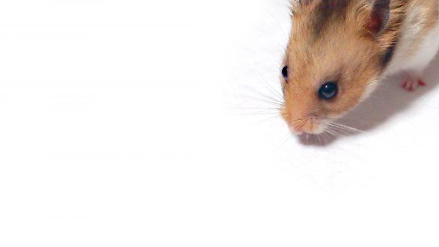 ネズミを「臭い」で撃退できる?ネズミが嫌がる臭いについて