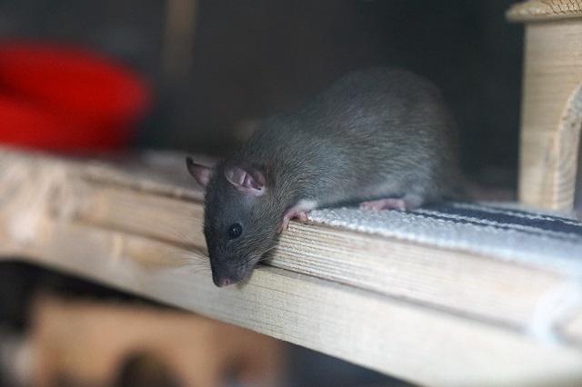 ネズミがいなくなる理由は?