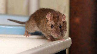 ネズミを追い出す方法を9段階で説明!殺さず追い出す徹底的手法を解説