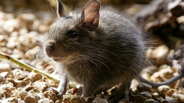ネズミに「殺虫剤」は効果あるの?ネズミ対策における殺虫剤の有効性