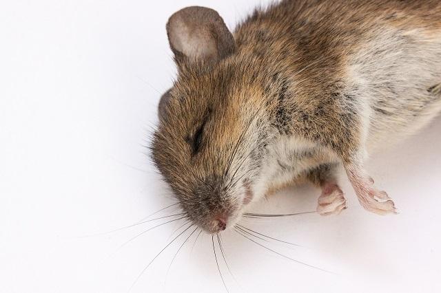 ネズミの正しい殺し方は?ネズミを殺処分する方法とそれ以外の選択肢
