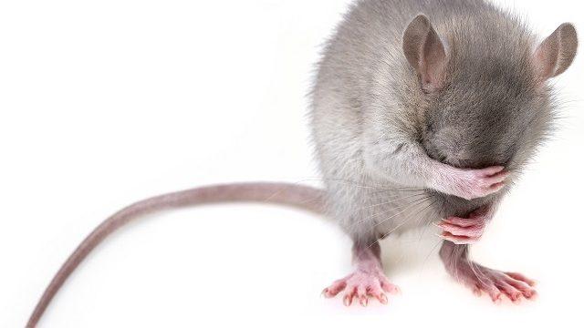 ネズミを唐辛子で撃退!唐辛子を使ったネズミ対策の方法とメリット
